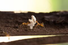 Two work ants carrying ants eggs to their new home