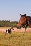 Two work horses on the chain Stock Photography