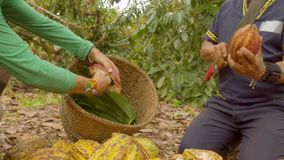 Two Workers Cutting A Cocoa Fruit And Harvesting The Beans. Ecuador stock video footage
