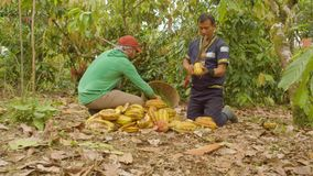 Two Workers Cutting Cocoa Fruits And Harvesting The Beans Dolly Shot. Two Workers Cutting Cocoa Fruits And Harvesting The Beans Ecuador Dolly Shot stock video