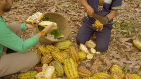 Two Workers Cutting Cocoa Fruits And Harvesting The Beans. Ecuador stock video