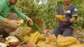 Two Workers Harvesting Cocoa Beans. Ecuador Low Angle stock footage