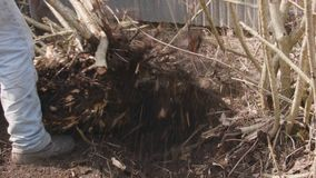 Uprooting trees. Two workers removing trees or shrubs stock footage