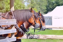 Two working horses Royalty Free Stock Image