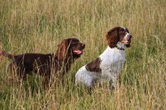 Two working spaniels in a field of grass. Working spaniels in a field of grass Stock Photography
