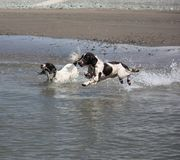 Two working type engish springer spaniel pet gundogs running into the sea Stock Photography