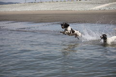 Two working type english springer spaniel pet gundogs jumping into the sea on a sandy beach Stock Images