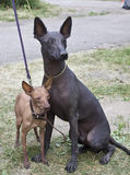 Two Xolo dogs. Two Xoloitzcuintlis, or Mexican hairless dogs, on the FCI dog show Royalty Free Stock Photo