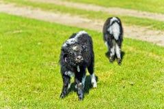 Two Yak calves Stock Image