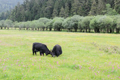Two yak fighting on the meadow Stock Image