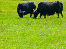 Two Yaks grazing in field.  Royalty Free Stock Image