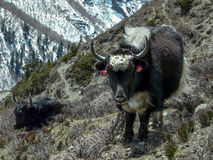 Two yaks in the Himalayas Stock Images