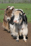 Two yaks Royalty Free Stock Photo