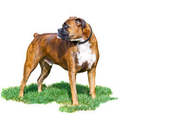 Two year old Boxer Royalty Free Stock Image