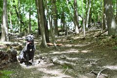 Two year old cane corso italian mastiff  in forest Stock Photo