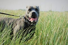 Two year old cane corso italian mastiff in long grass. There is two year old cane corso italian mastiff in long grass in sitting position with open mouth, she stock image