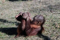 Two Year Old Orangutan Rolling On The Ground Royalty Free Stock Photo