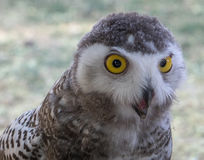 Two year old Siberian Owl (The look tells it all) Stock Photography
