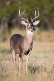 Two year old whitetail buck Royalty Free Stock Photo