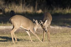 Two yearling whitetail bucks playing together. By play fighting stock image