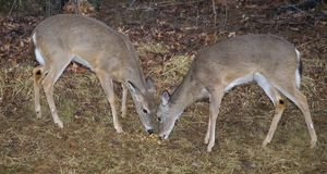 Two yearlings. A pair of whitetail deer eating near a forest's edge stock image