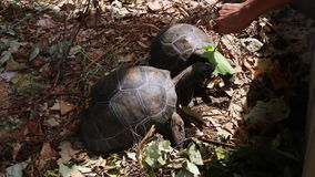 Two 4 years old giant tortoises at Curieuse Island breeding station, Seychelles. Two 4 years old giant tortoises at Curieuse Island, Seychelles stock video footage