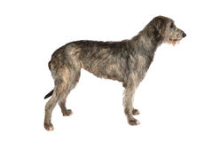 Two years old Irish wolfhound dog. Isolated on white background Stock Image