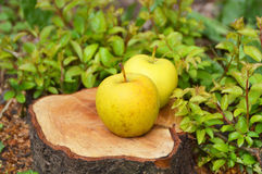 Two Yellow Apples on the Ground. Two ripe yellow apples on a log. Green herbs grow around Stock Images