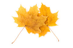 Two yellow autumn dry maple leaf on a white background Royalty Free Stock Photo