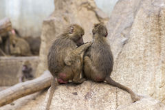 Two Yellow baboons, Papio cynocephalus Stock Photo