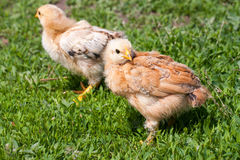 Two yellow baby chicken in the green grass Stock Photos