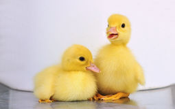 Two yellow baby ducks. Isloated on white royalty free stock images