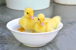 Two yellow baby ducks in a bowl. Two yellow baby ducks isolated in a bowl royalty free stock image