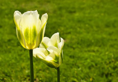 Two yellow beautiful tulips Royalty Free Stock Photography