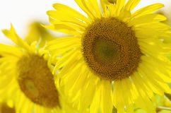 Two yellow big sunflowers. Close up in the afternoon Stock Images