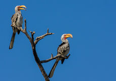 Two yellow billed hornbills sitting on branch with blue sky Royalty Free Stock Photography