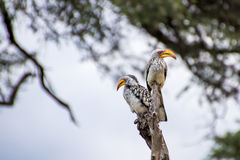 Two yellow-billed hornbills sitting on branch. Looking at camera with blurred branches and sky in background royalty free stock photography