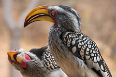 Two yellow-billed hornbills (Tockus leucomelas). Offering each other food Stock Photography