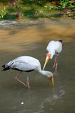 Two yellow billed storks drink water Royalty Free Stock Image