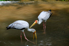 Two yellow billed storks drink water Stock Image