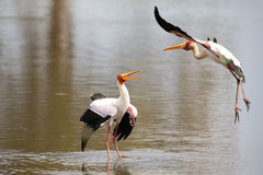 Two Yellow billed storks fight for domination of territory at da Royalty Free Stock Photography