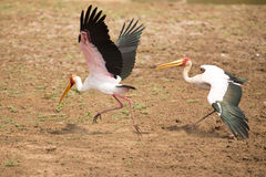 Two Yellow billed storks fight for domination of territory at da Stock Photo
