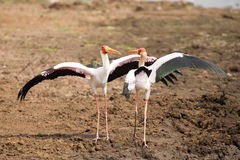 Two Yellow billed storks fight for domination of territory at da Stock Image