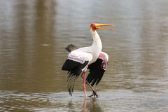Two Yellow billed storks fight for domination of territory at da Royalty Free Stock Photos