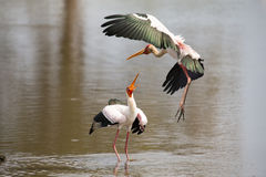 Two Yellow billed storks fighting over prime spot for fishing Royalty Free Stock Photography