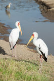 Two Yellow-billed storks Stock Photos