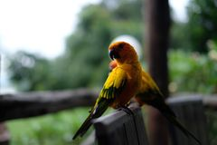 Two Yellow-and-black Birds Stock Images