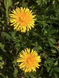 Two yellow blooming dandelions in a green lawn stock photography