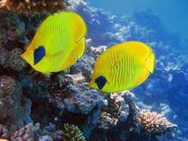 Two yellow bluecheek butterflyfish. The bluecheek butterflyfish (Chaetodon semilarvatus) two yellow fish in front of beautiful coral reef underwater royalty free stock images