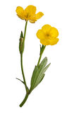 Two yellow buttercup flowers Royalty Free Stock Photo